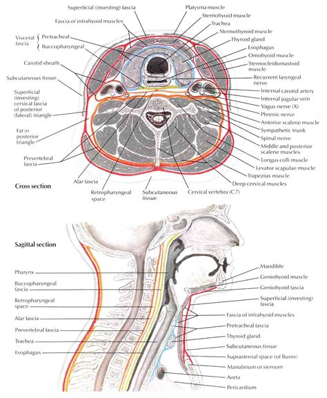 cross section of neck anatomi patologi organ bedahunmuh s blog