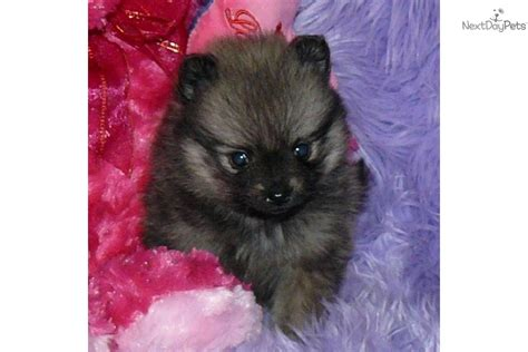 baby doll pomeranian akc teacup pomeranian puppies image 1 breeds picture