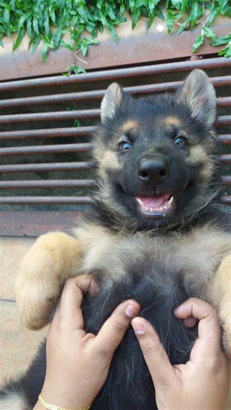 fluffy german shepherd puppy 18 german shepherd puppies who need to be snuggled immediately