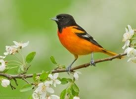 histories of american blackbirds orioles tanagers and allies classic reprint books browse for a bird by name and shape all about birds