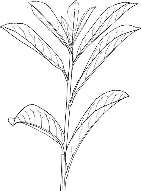 imagenes de png blanco y negro vector gratis planta hojas blanco y negro imagen