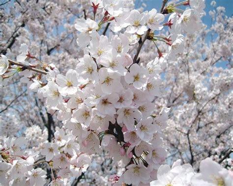alberi in fiore alberi da fiore alberi alberi con fioritura