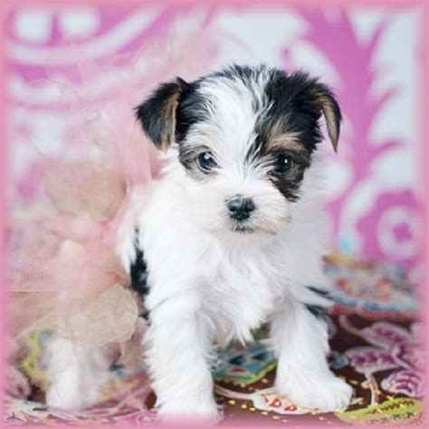 white teacup yorkies sale 1000 ideas about puppies for sale on puppies for sale mini dogs and