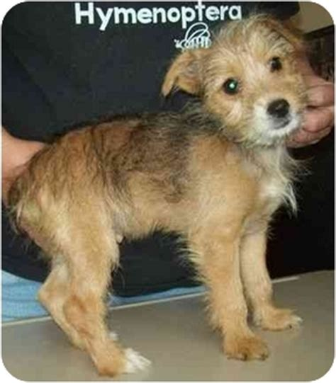 yorkie border terrier mix sally adopted puppy 6 7 6 judson in border terrier yorkie