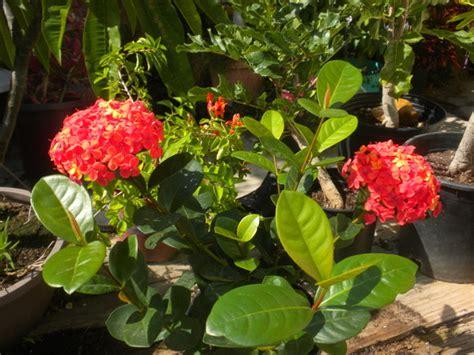 ixora coccinea maui red maui red ixora grows