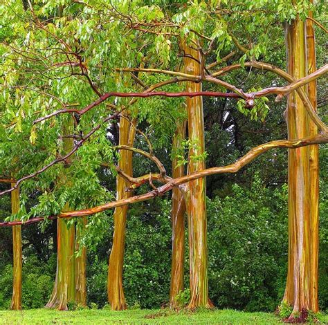 Flowering Shrubs Texas - rainbow eucalyptus tree for sale online the tree center