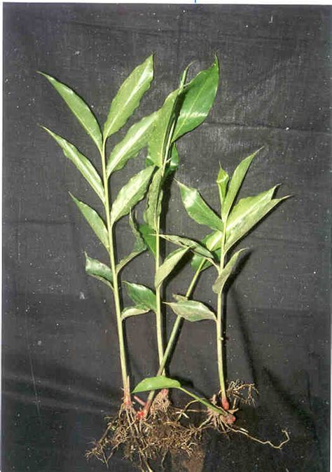 tanaman herbal kategori  informasi herbal page