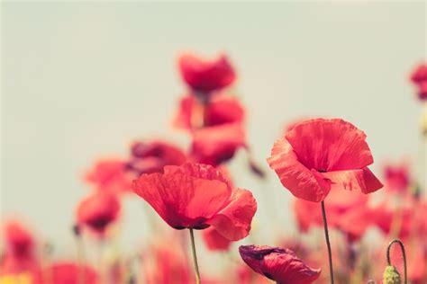 achtergrond bloemen rustig fotobehang poppy bloemen retro rustige zomer achtergrond