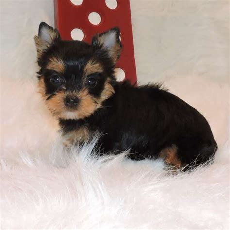 teacup yorkie puppies sale teacup yorkies for sale yorkie puppies sale elvis design bild