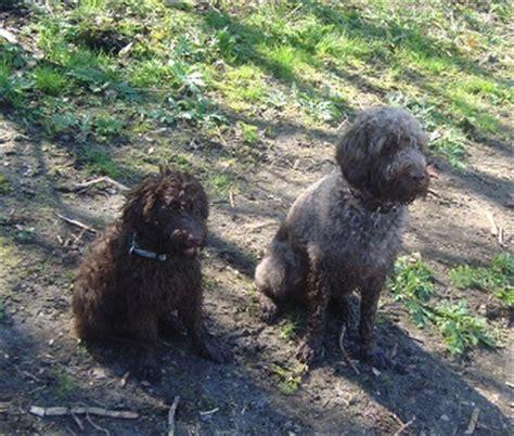 doodle club nederland labradoodle hondenforum waar komt jullie hond vandaan