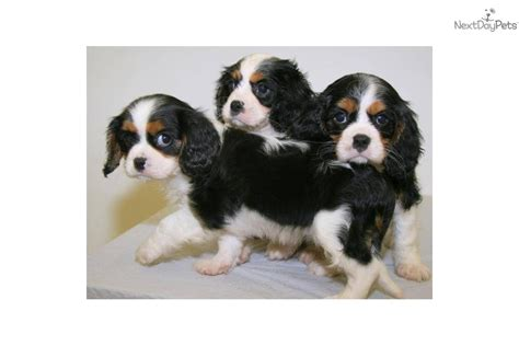 king charles cavalier puppies ohio cavalier king charles spaniel puppy for sale near columbus ohio 52f520dc 8551