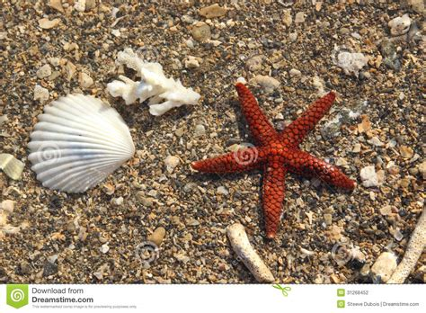 starfish in bed starfish in bed brown red starfish in shallow water stock