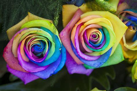 imagenes de rosas multicolores fotos von mehrfarbige rosen blumen gro 223 ansicht