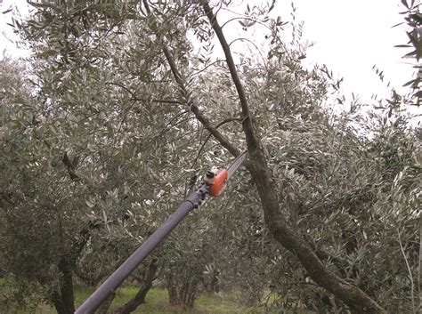 potatura olivo vaso potature straordinarie per oliveti tradizionali
