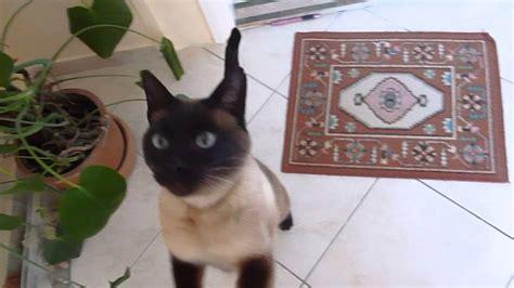cute siamese cat begging  food youtube