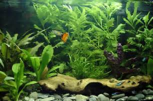 Live Rock Aquascape 10 Best Freshwater Fish For Beginners Clubfauna