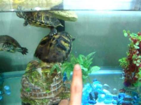 tartarughe d acqua dolce alimentazione tartarughe d acqua dolce alimentazione images