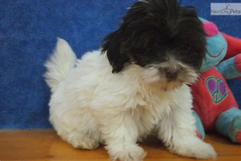 havanese breeders wisconsin havanese puppy for sale near appleton oshkosh fdl wisconsin ccc28e8c 0e71