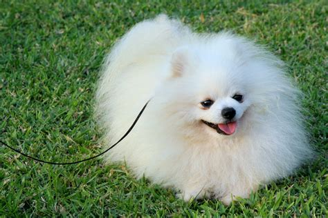pomeranian puppy pomeranian dogs behaviour hd wallpapers