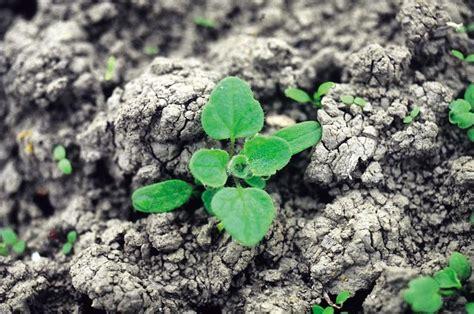 la mala hierba 8401019192 aimcra recomendaciones de cultivo gt malas hierbas de la remolacha