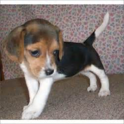 Beagles for sale online puppies beagle puppies for sale