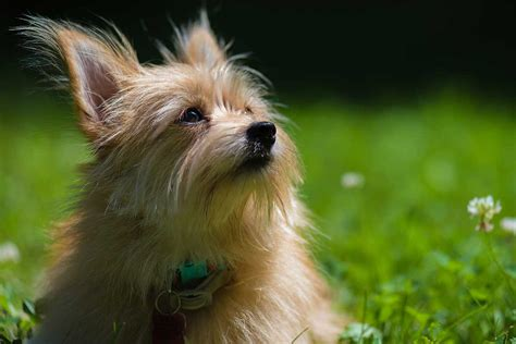 should i get a yorkie yorkie pom breed 187 everything about yorkie pomeranian mixes