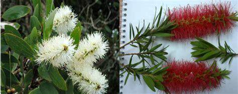 Minyak Kayu Putih Per Pak foto spesies pohon minyak kayu putih bunga merah