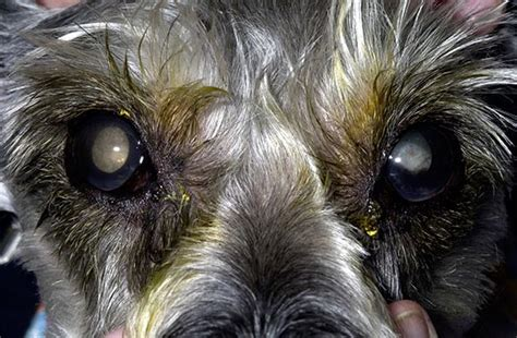 puppy cataracts cataracts blindness and diabetic dogs animal eye care
