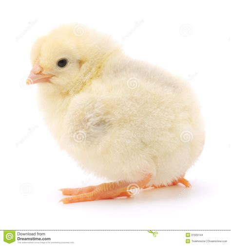 small chicken small chicken stock images image 31925144