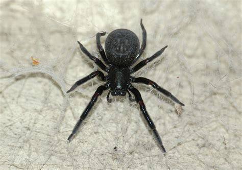 black house spider giant house spider the life of animals