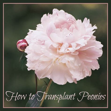 how to transplant peonies for seed giveaways daily tips