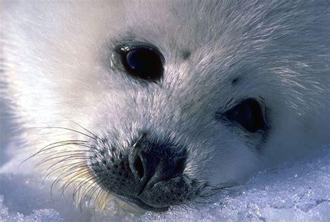 imagenes de focas blancas focas beb 233 s blancas imagui