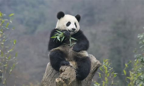 How Many Search On How Many Pandas Are Left