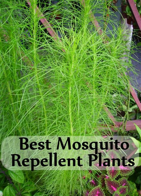 5 best mosquito repellent plants and how to use them