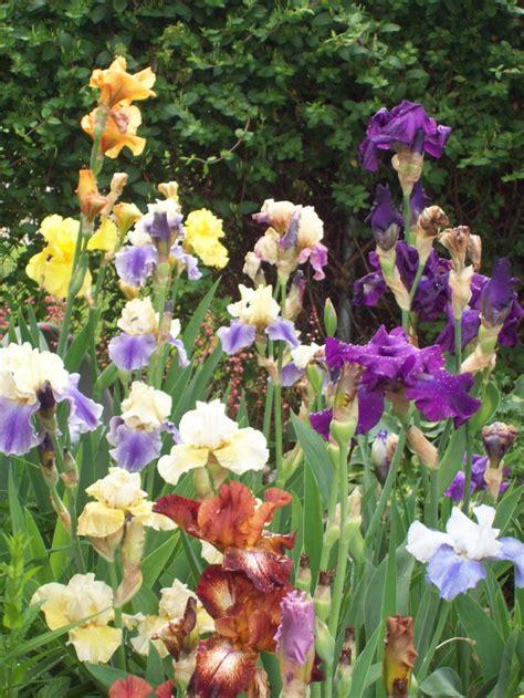 Iris Garden Beautiful Pinterest Iris Flower Garden