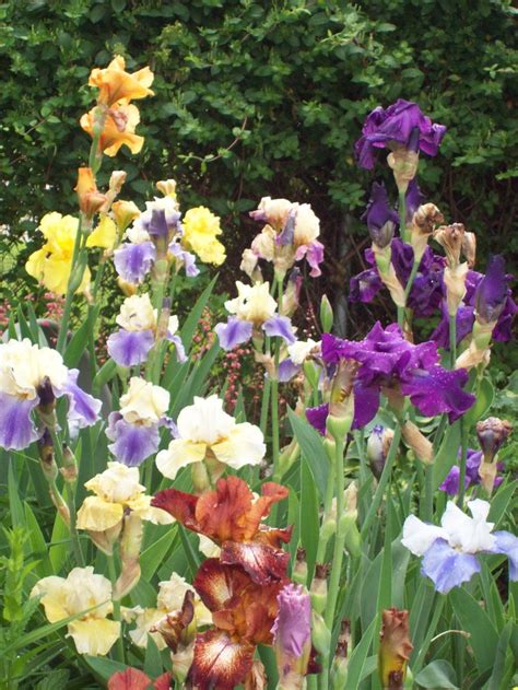 Iris Flower Garden Iris Garden Beautiful
