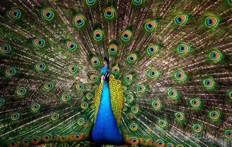 Peacock L by 20 Beautiful Images Of Peacocks
