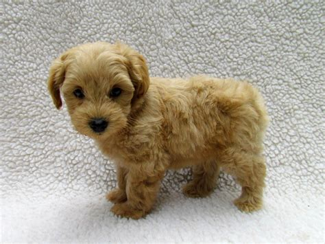 schnoodle puppies image gallery schnoodle puppies