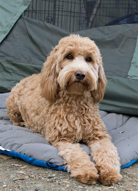 goldendoodle puppy temperament de 25 bedste id 233 er inden for doodle p 229