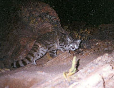 Inidia Cat 24 chat des andes leopardus jacobita