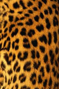 Jaguar Fur Jaguar Fur Print By Siede Preis