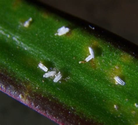 small white bugs in house insect and spider identification small parasite living on indoor plants please help