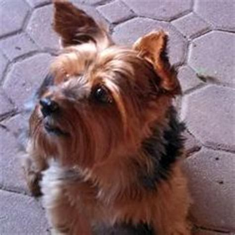 petfinder yorkie 1000 images about adoptable yorkies on yorkie dogs terrier and