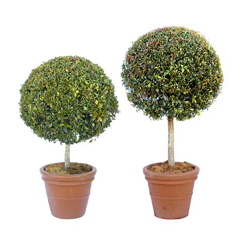 plants used for topiary plant types mr pot plants