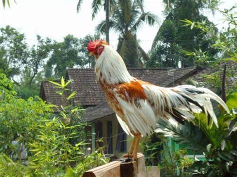 Bibit Ayam Sentul jenis jenis ayam lokal indonesia seputar ayam kung