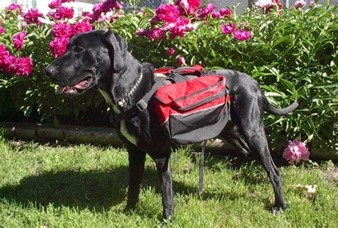 backpack for dogs to wear which dogs can benefit from backpacks thatmutt