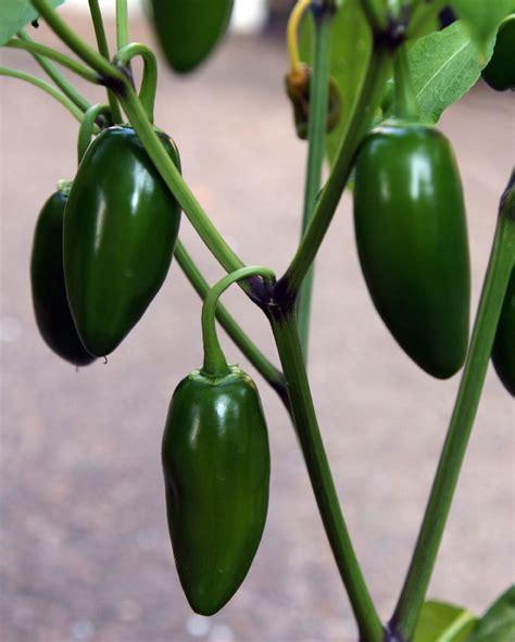 grow l for green pepper plant care www pixshark com images