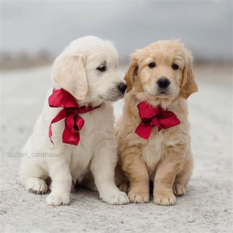 golden retriever puppies images 17 best ideas about golden retriever puppies on retriever puppies