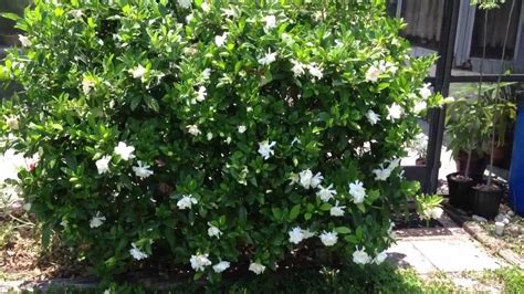Gardenia Bush Care Gardenia Bush Sweet Smelling Flowers