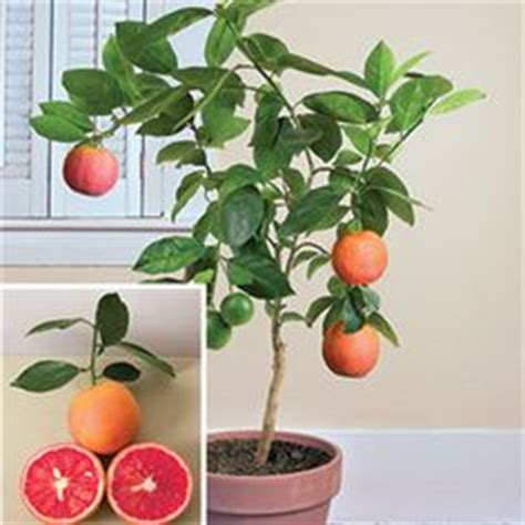 indoor fruit tree bonsai inspirations on bonsai fruit trees and